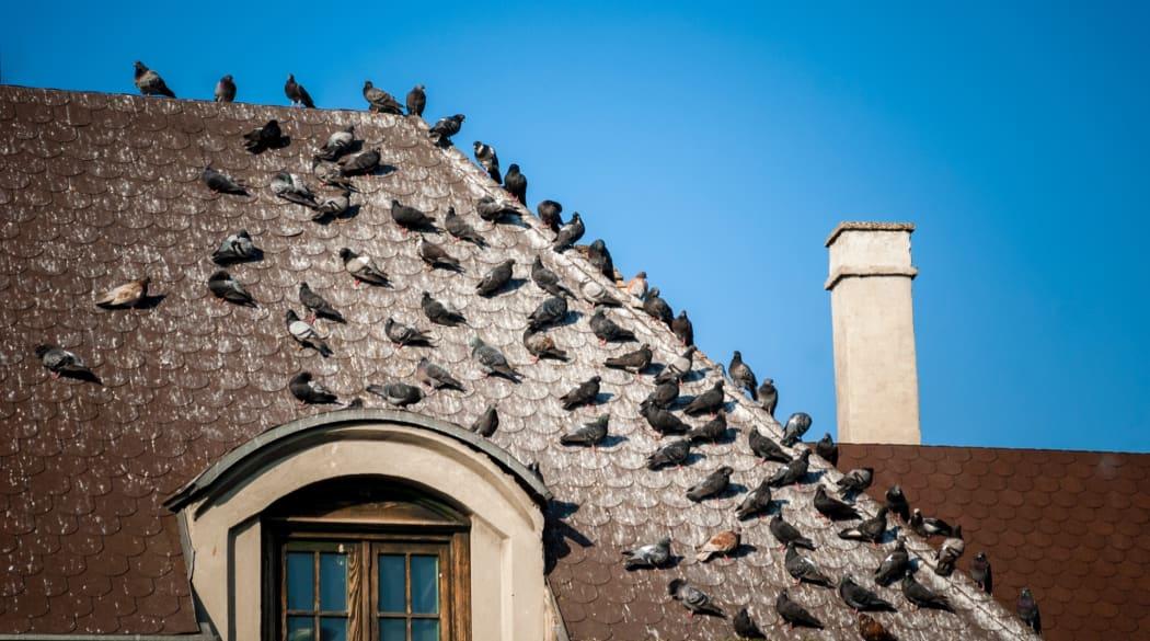 Ein Taubenschwarm sitzt auf einem vollgekoteten Dach
