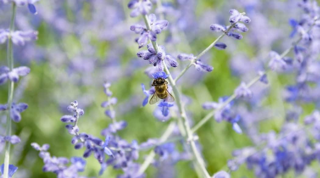 Blauraute mit Wespe