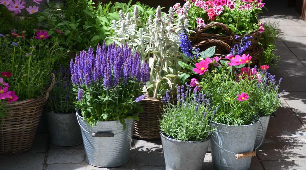 Lila Lavendel im Metallkrug