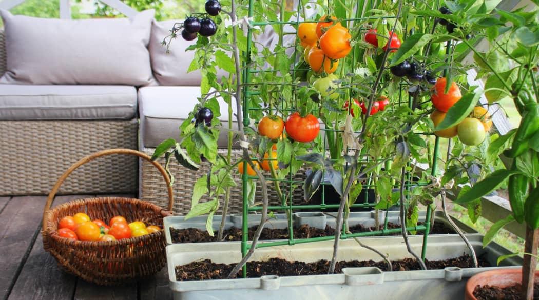 Tomaten-Pflanze