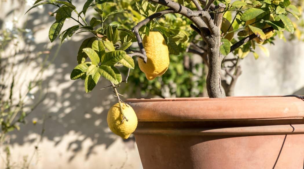 Zitronenbaum im Tontopf