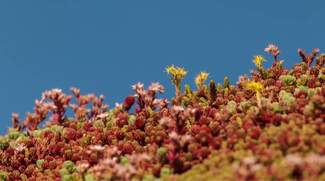 Dachbegrünung Pflanzen: ein Dach mit Sedumbepflanzung