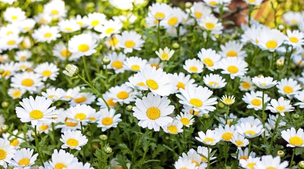 Dachbegrünung Pflanzen: Gänseblümchen in der Nahaufnahme