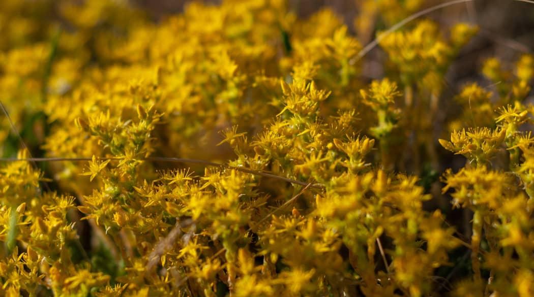 Dachbegrünung Pflanzen: gelb blühendes Moos-Sedum