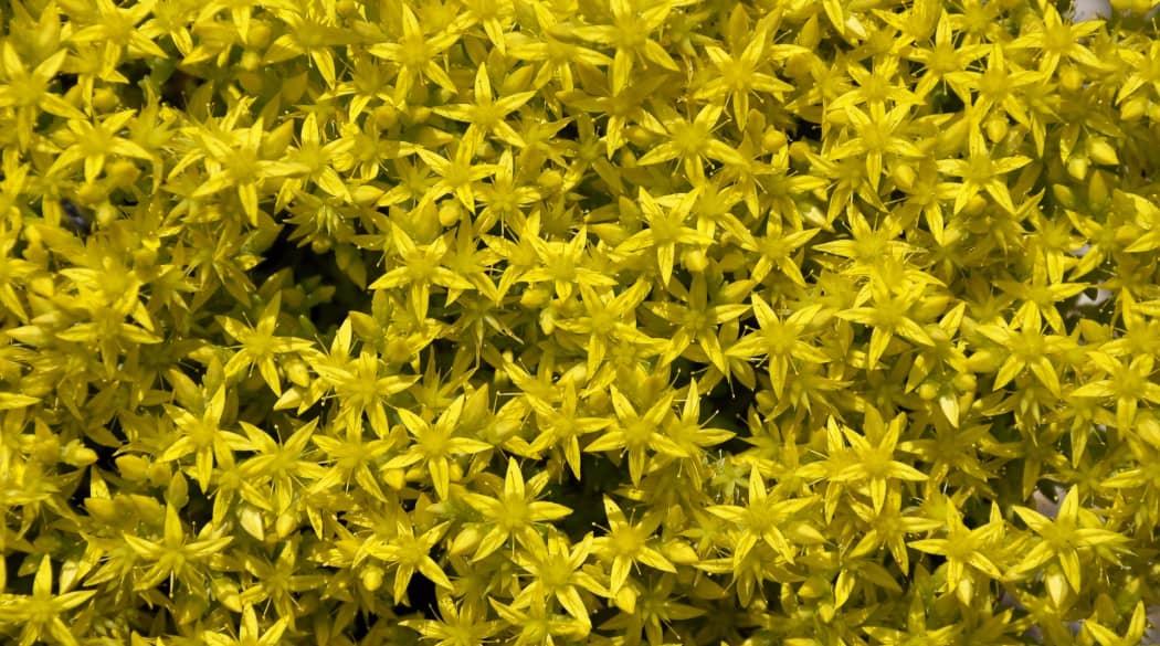 Dachbegrünung Pflanzen: gelbe Fetthenne