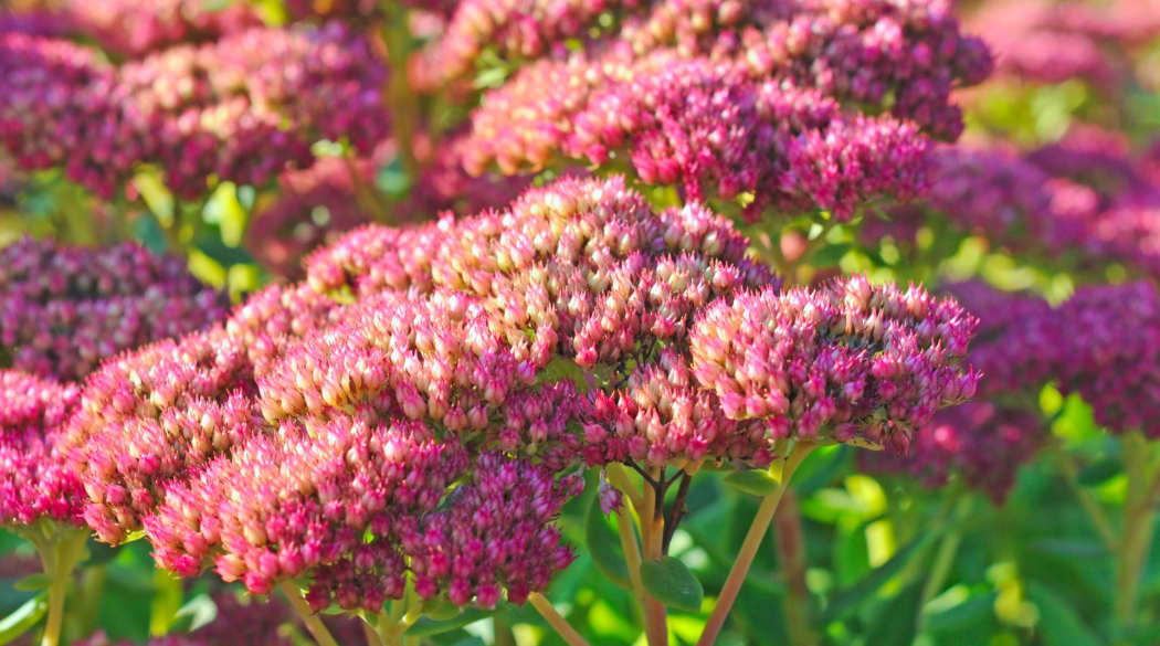 Dachbegrünung Pflanzen: Sedum telephium
