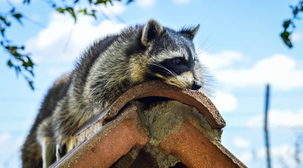 Typische Schwachstellen am Steildach: ein Waschbär liegt auf einem Dachfirst